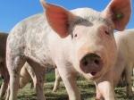 Свиньи оказались разумнее собак ишимпанзе