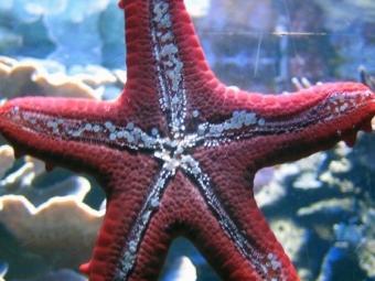 Морские звезды скрывают внутри себя ключ ктайнам вечной молодости— ученые