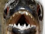 Учёные признали, что древнейшими обладателями зубов являются неакулы