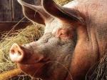 Японцы попробуют вырастить человеческие органы втеле свиньи