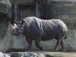 В Западной Африке вымерли черные носороги