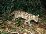 Учёные выявили 2 разных вида абсолютно идентичных внешне кошек
