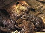 В Англии впервые за 800 лет была обнаружена семья бобров