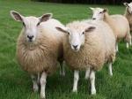 Овцы оказались умнее, чем предполагалось