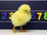 Ученые: Цыплята ичеловек одинаково воспринимают числовой ряд