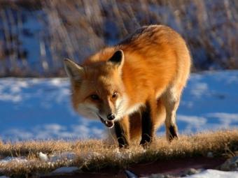 ВЧувашии насотрудника колонии напала бешенная лиса