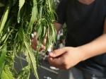 ВКировском районе ликвидирована лаборатория повыращиванию марихуаны