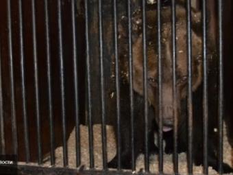 Канал «Звезда»: Медведь «закусил» рукой девушки вкафе Томска