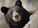 ДТП с медведем