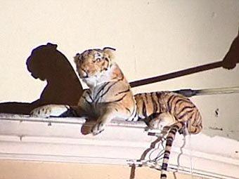 Американские пожарные поймали плюшевого тигра