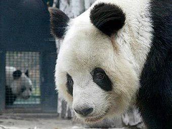 Китайской панде сделают искусственную лапу