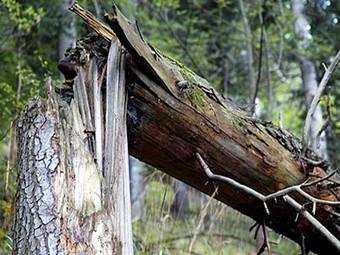 В Москве повалено около ста деревьев