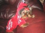 «Ловкий» туляк купил щенка йоркширского терьера за 14 тысяч «фальшивых» рублей