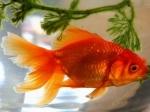 Хозяева нашли свою золотую рыбку спустя два года