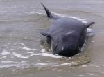 У американского побережья киты выбрасываются на берег