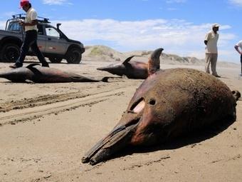 В Перу дельфины массово выбрасываются на берег