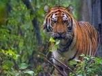 В Индии тигрица-людоед приводит в ужас местное население