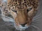 В Индии жертвой леопарда стали уже 2 ребёнка
